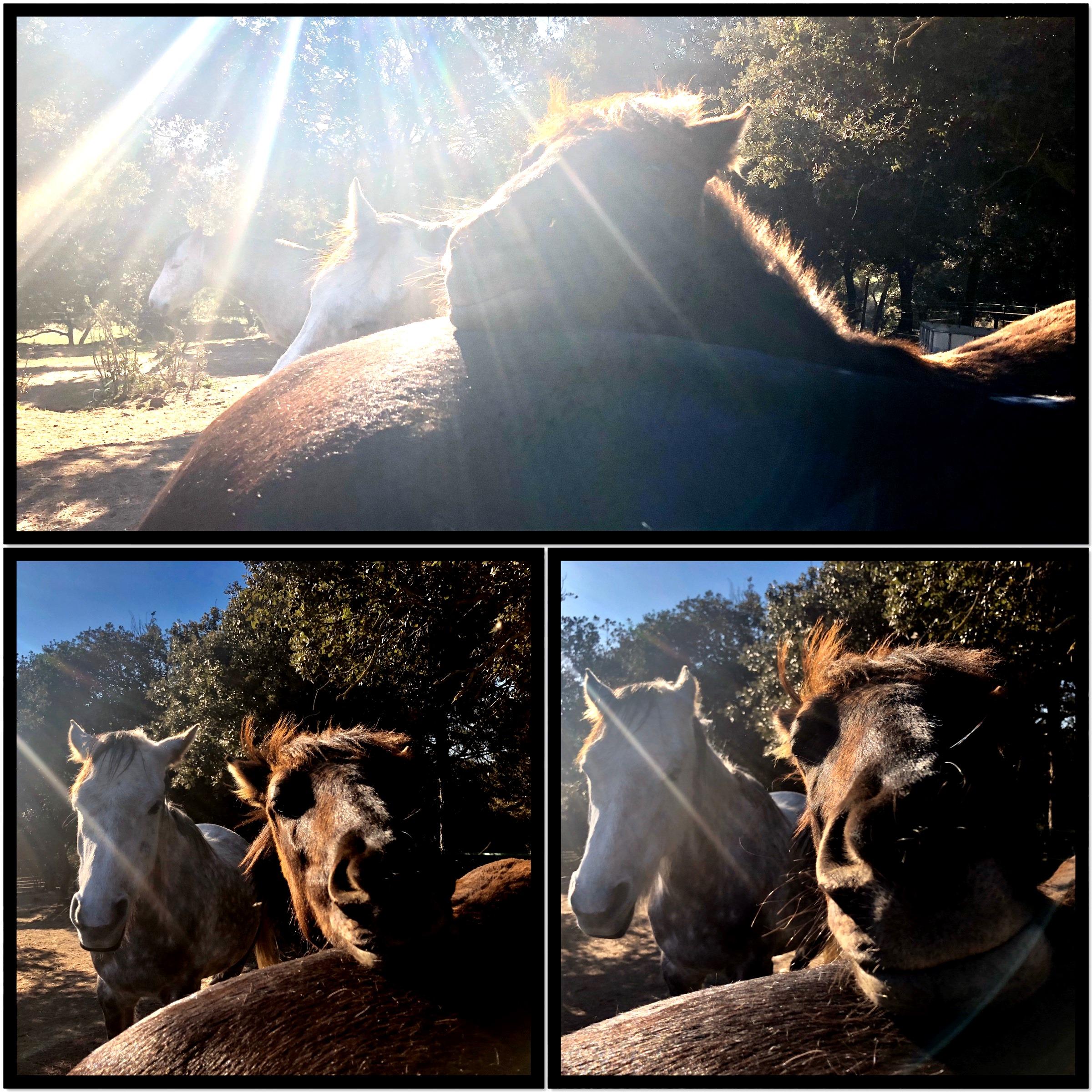 Lee más sobre el artículo Etología, comportamiento y lenguaje del caballo